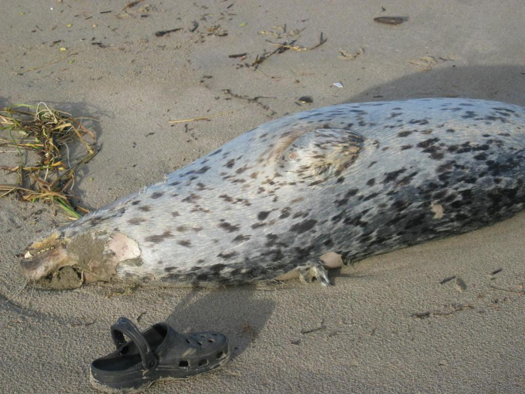 dead harbor seal, showing no wounds.