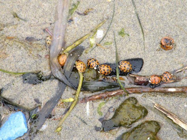 This is a small sampling of the lady beetles (aka lady bugs) stranded along the swash line on mile 216.