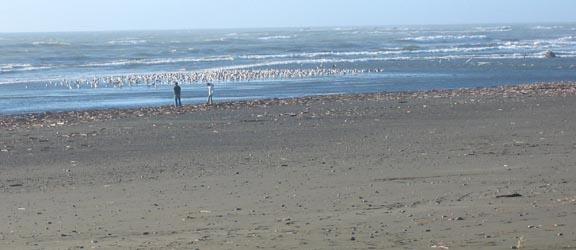 Many dozen seagulls congregated at the mouth of the Winchuck River.