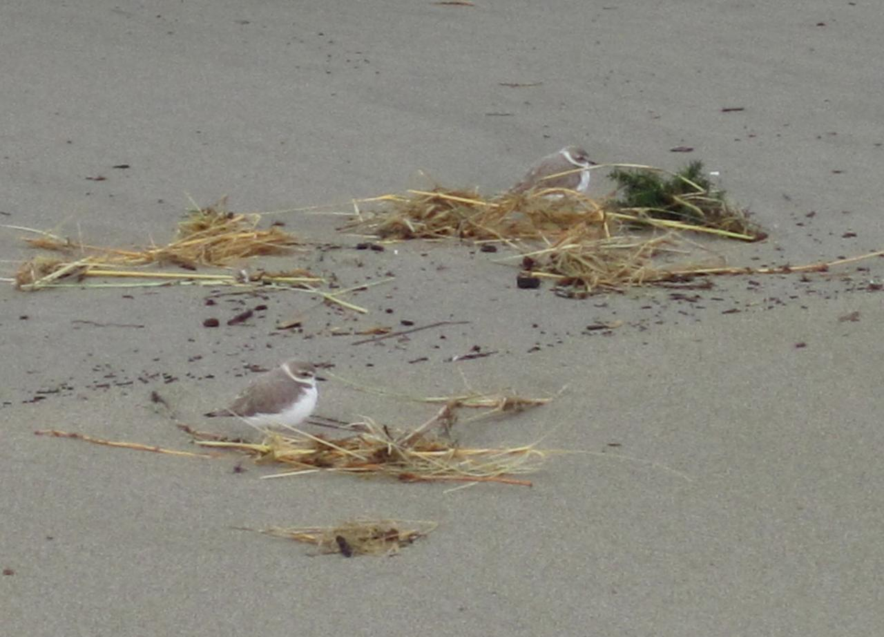 Today, we saw 17 Snowy Plovers on the beach.  Here they are resting with European Beachgrass.