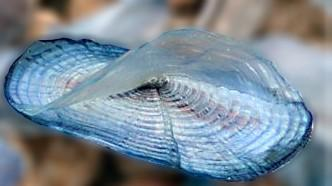 During the spring, velella wash up on the beach.  This year they are very, very small.