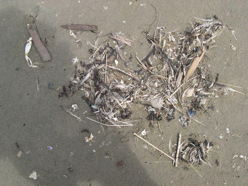 Many clusters alon drift line of sea debris comprised of reeds, what looks like packing strips, feathers, shells, twigs.