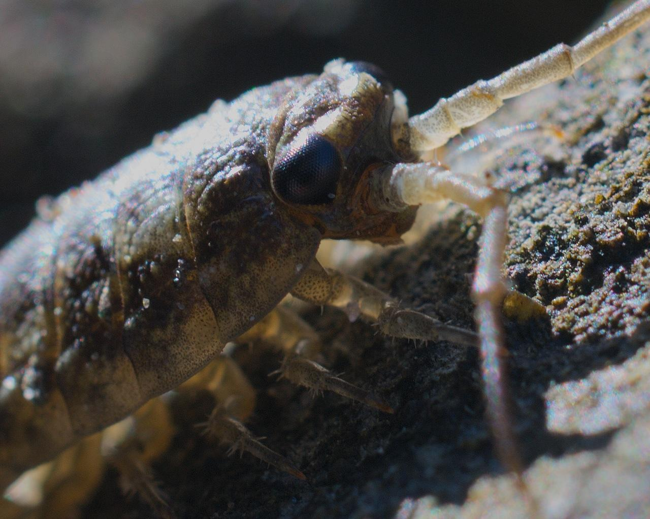 Some sort of Isopod (relative of terrestrial sow bugs), posing for a close-up while foraging in crevices at high intertidal. Actual length about an inch, not counting antennae.