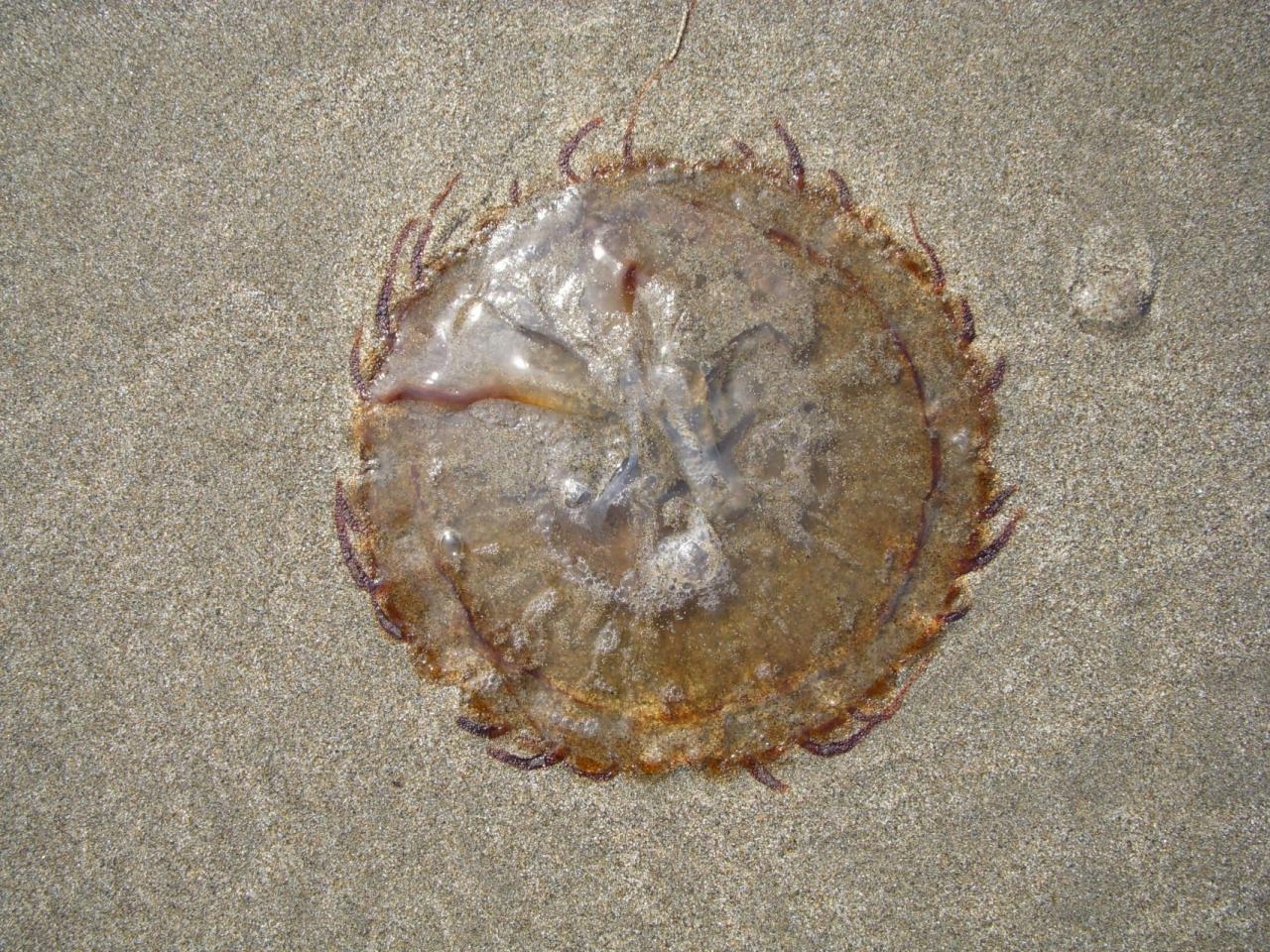 Found numerous jellyfish about 4-7 inches in diameter with short tentacles.
