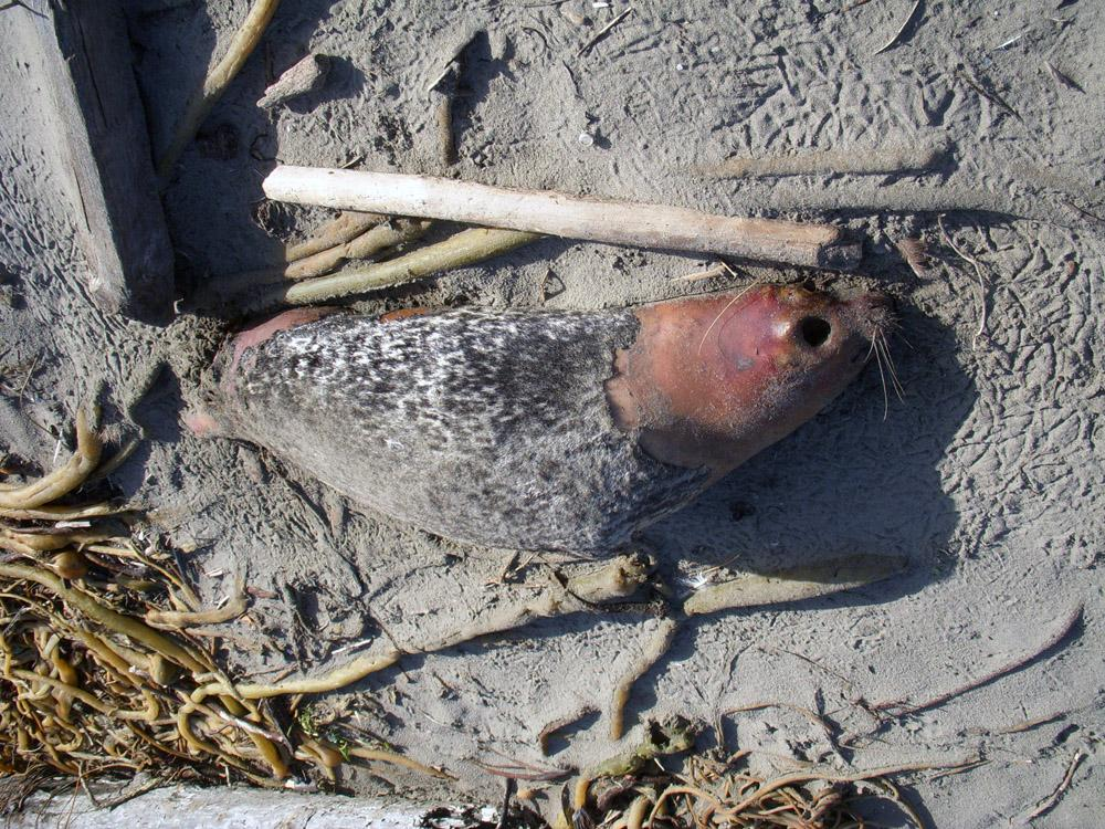 Seal, a little over 5 feet long, was high on the beach.  Gull foot prints were around the head and tail which were punctured.