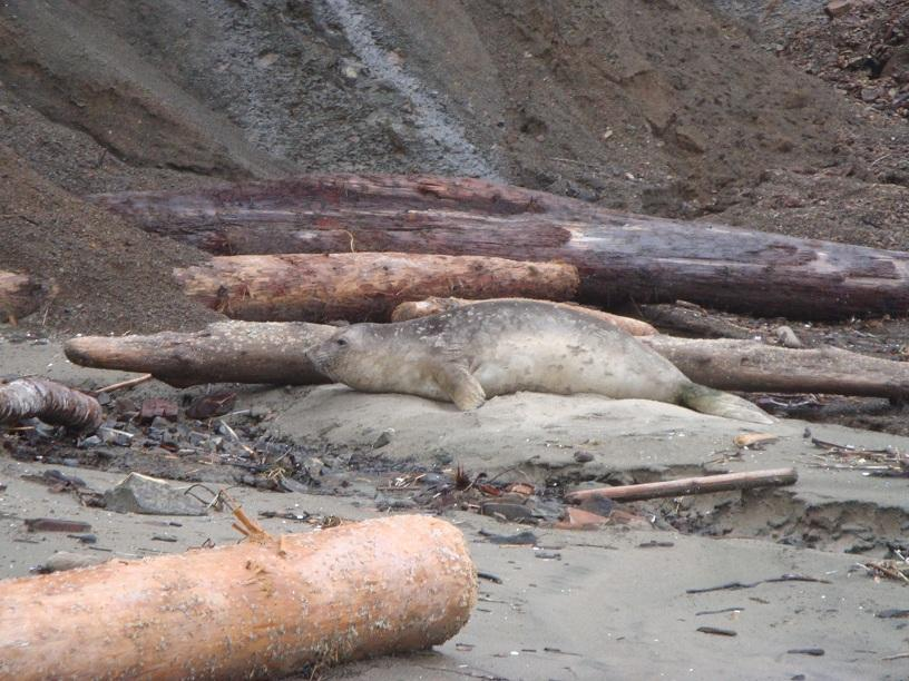 Alive but lethargic seal