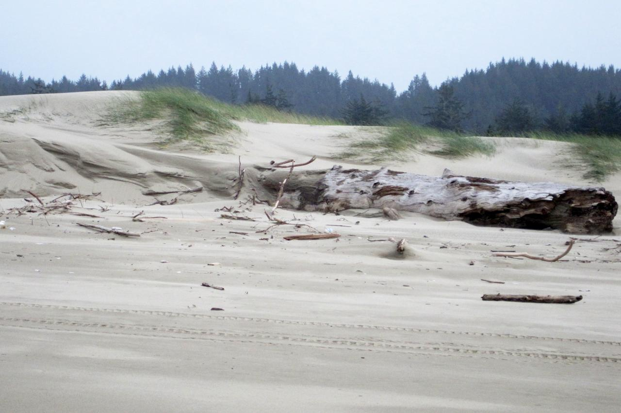 new driftwood with evidence of wave overtopping and large sand build up at foredune.