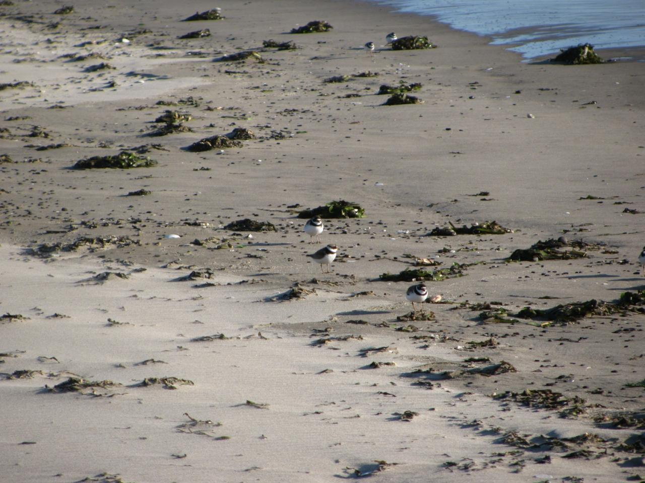 Small groups of Semi-palmated Plovers forage for food near the driftline.