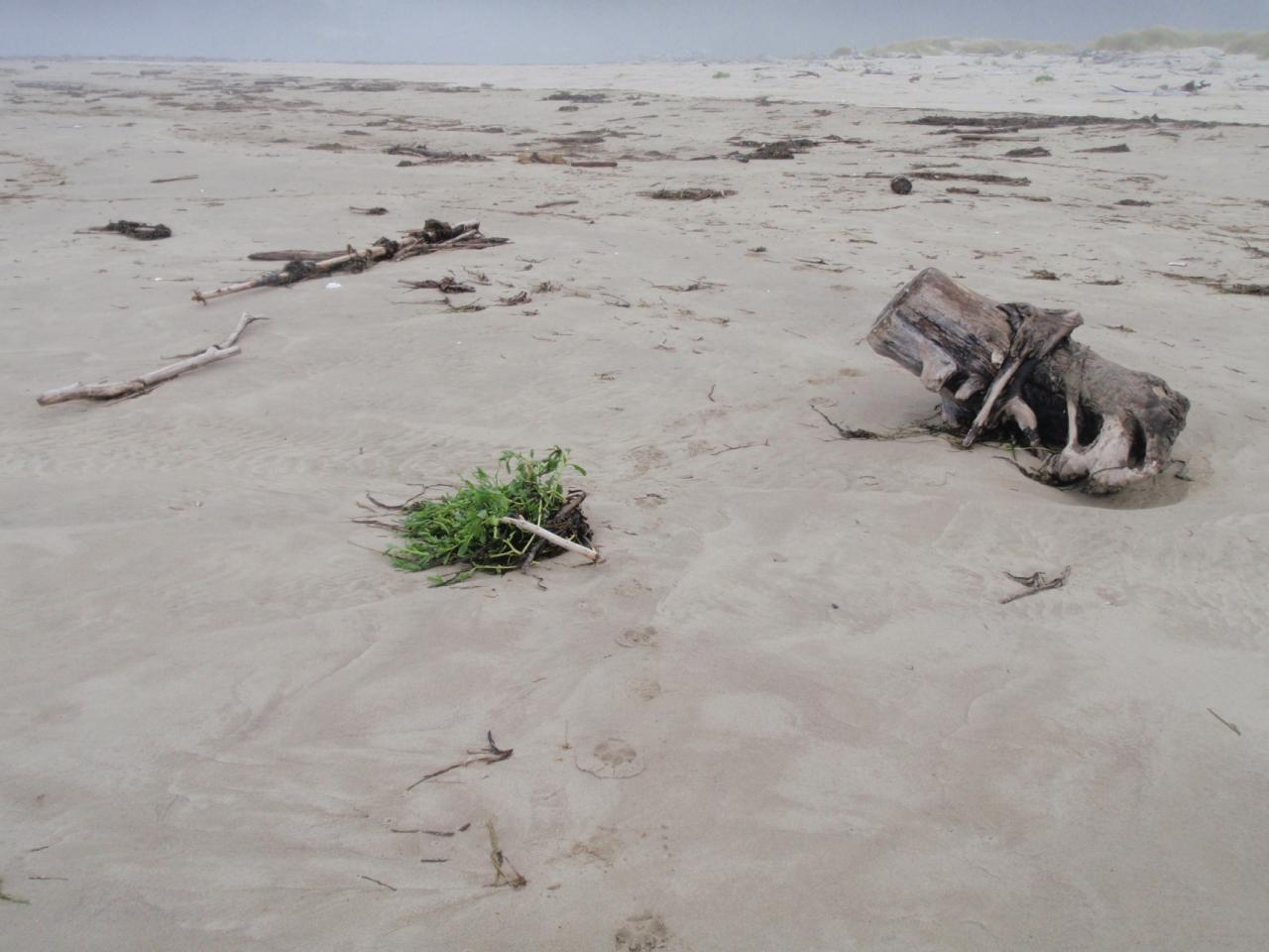 Recent high swells have pushed the tides up high on the beach.  The new summer vegetation is being inundated.