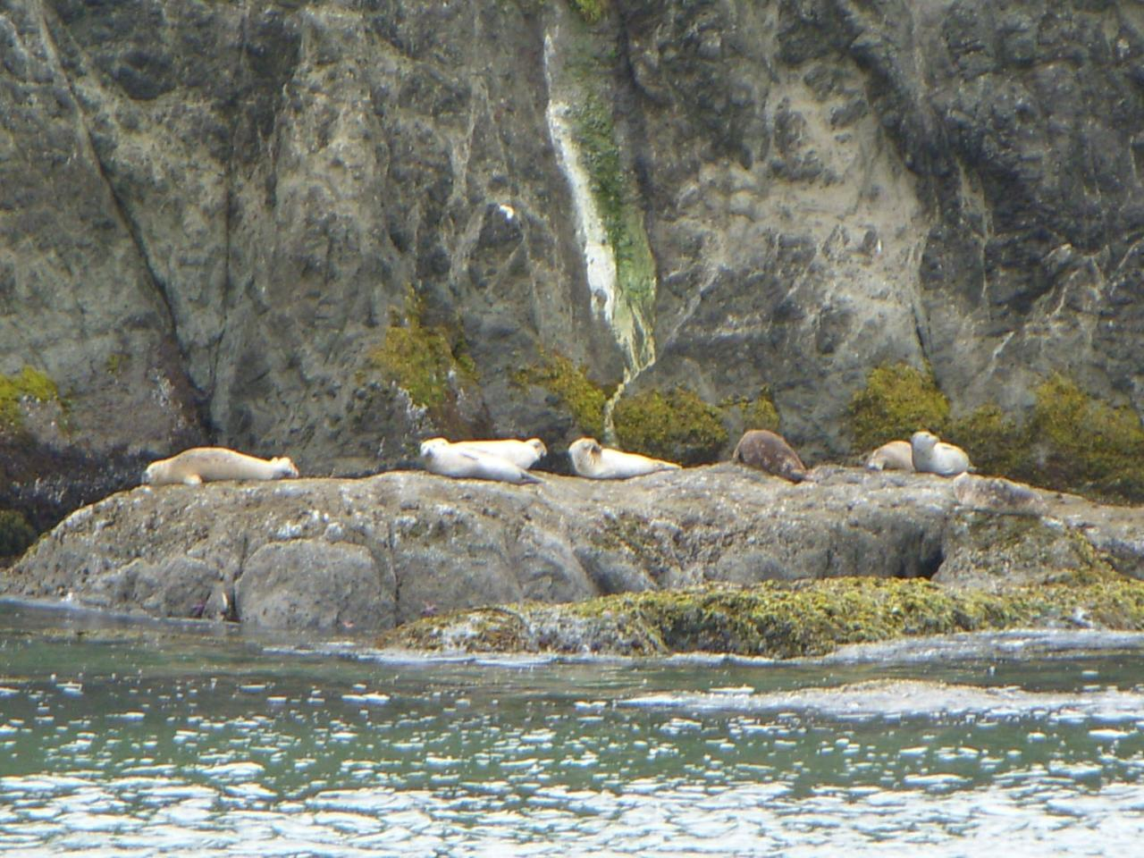 Seven Harbor Seals were hauled out on the rocks just in front of Elephant Rock at Coquille Point.