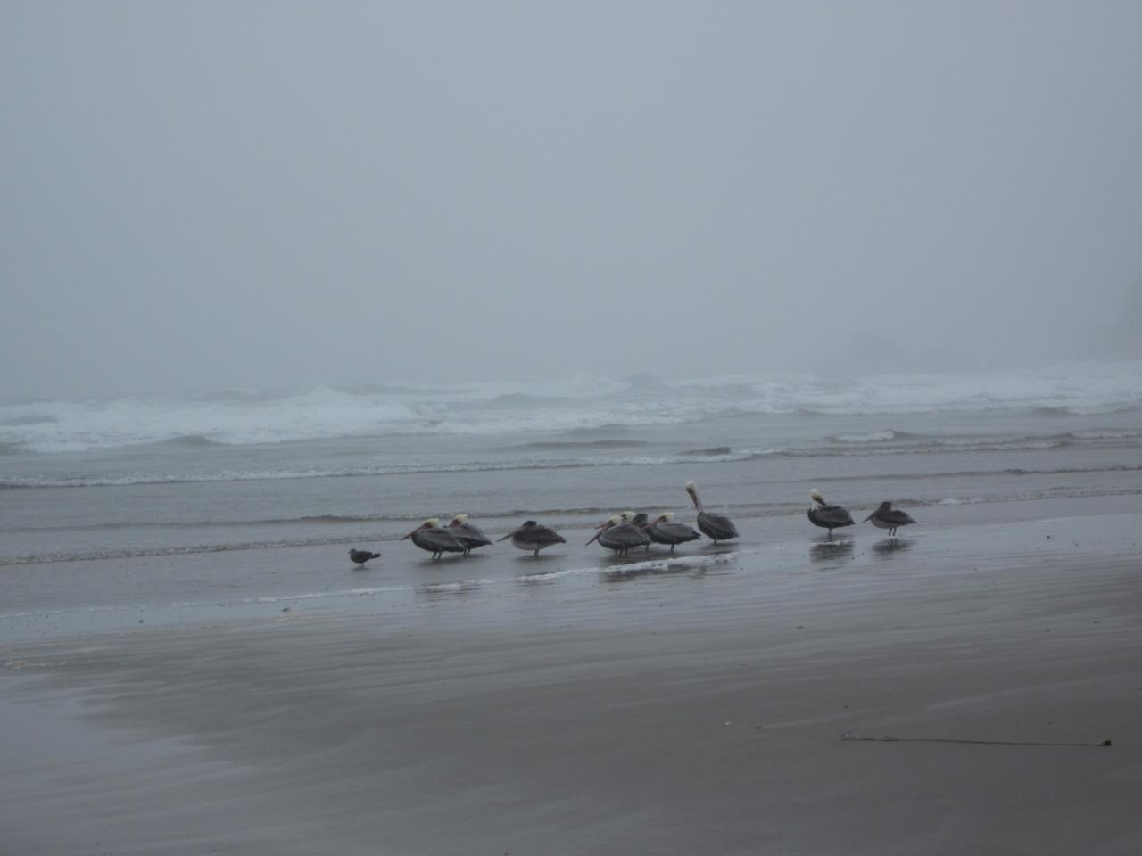 This group of about a dozen brown pelicans was standing on the beach near the surf line, a behavior noticed in previous years just before they fly south for the winter.