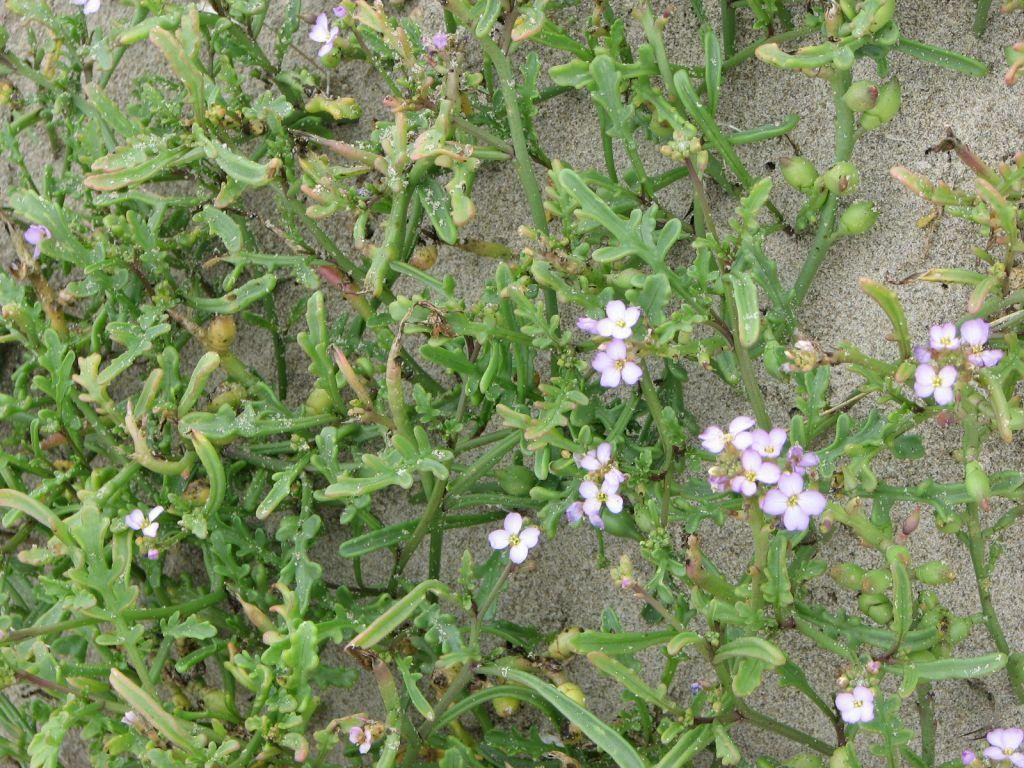 Sample of beach plantlife growing prolifically on the Umpqua Spit