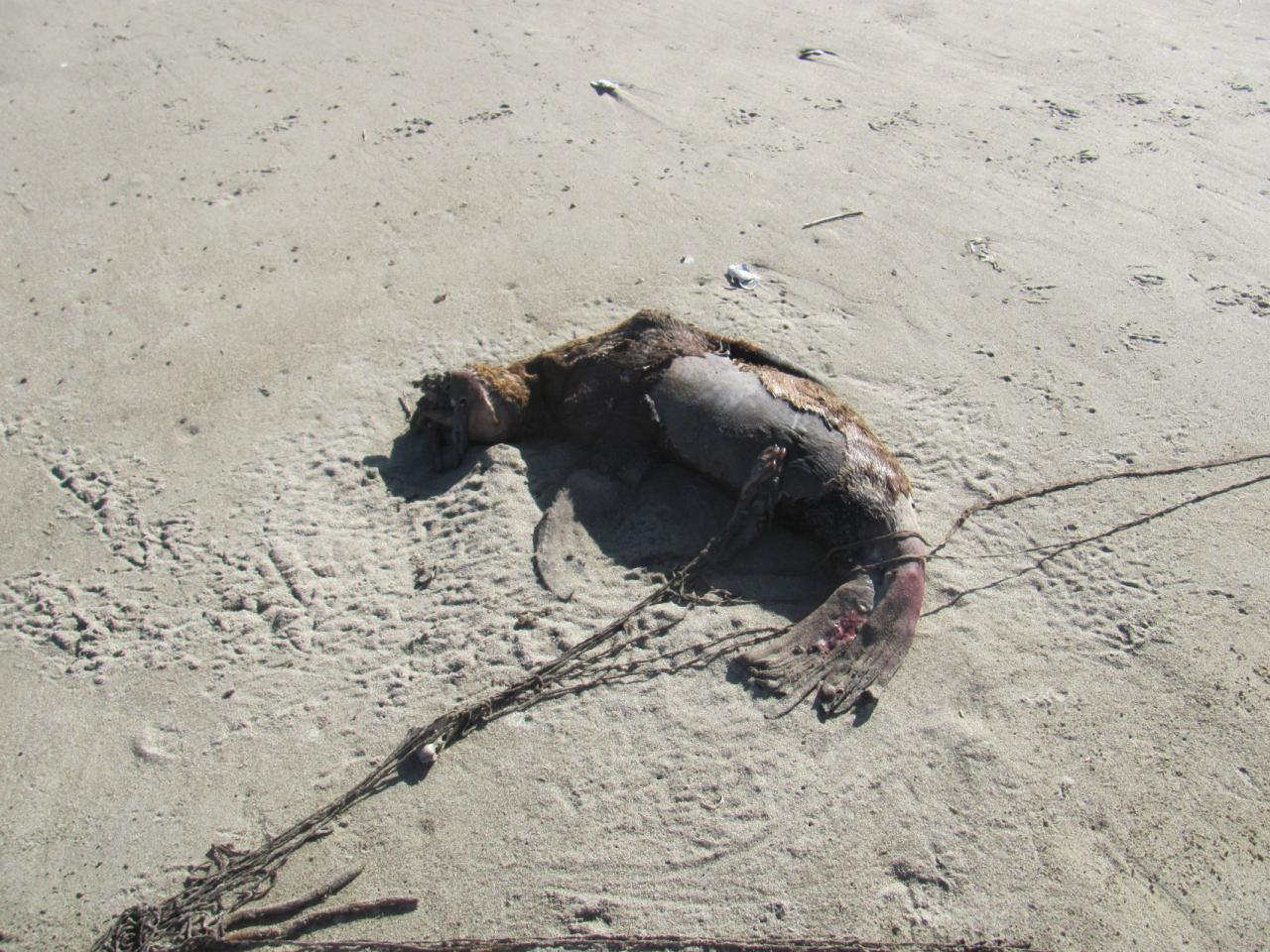 What looked to me like a dead little seal, possibly entangled.