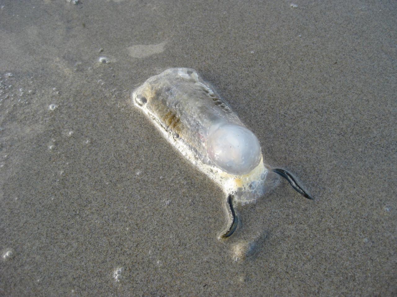 Salp tunicate