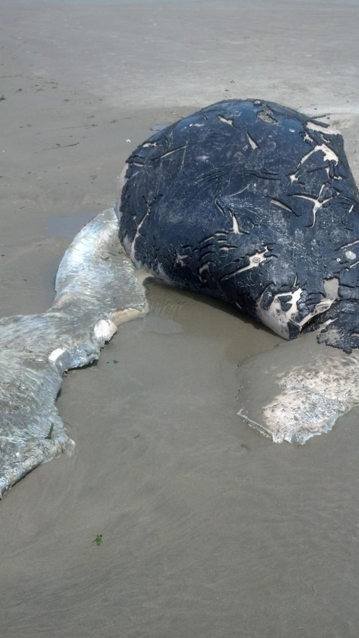 Grey Whale Calf had been killed two weeks prior to washing up on mile 200.