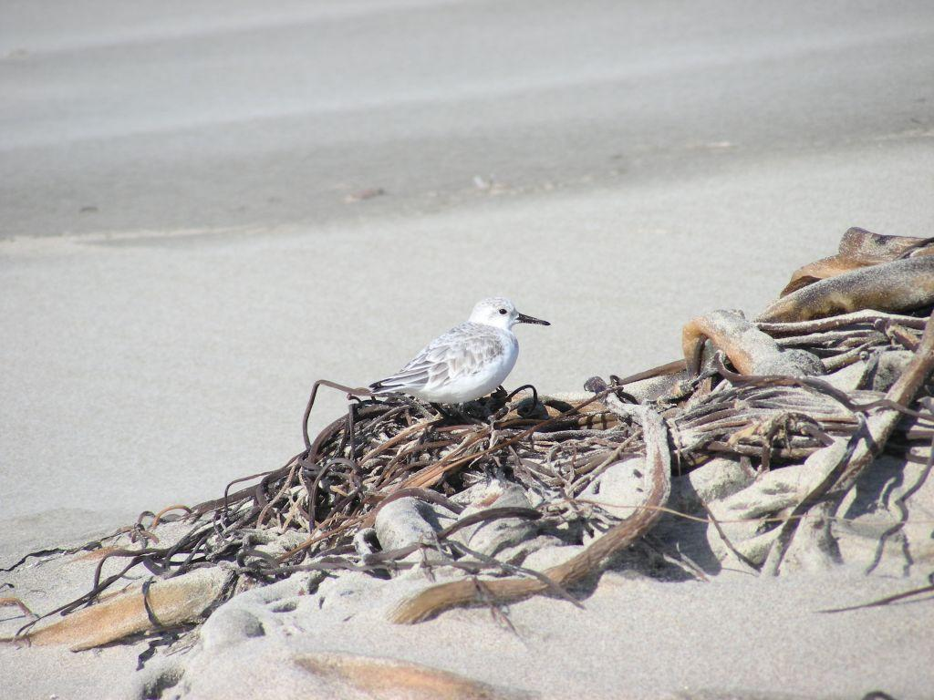 This Sanderling sat still for me to take it's picture.  Normally, Sanderlings are seen foraging in the surf.