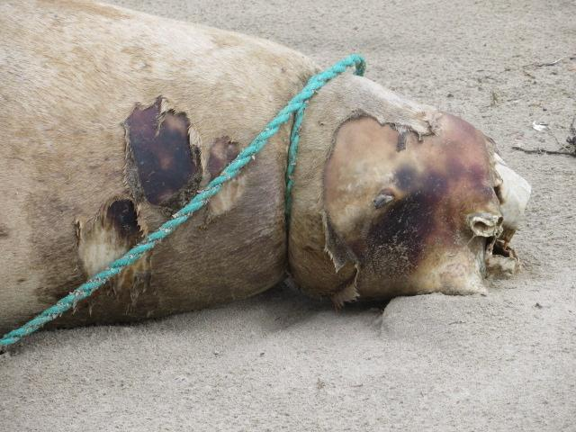 Dead Steller's sea lion found on Tillicum Beach. Death caused by entanglement in and garroting by rope attached to small beam.