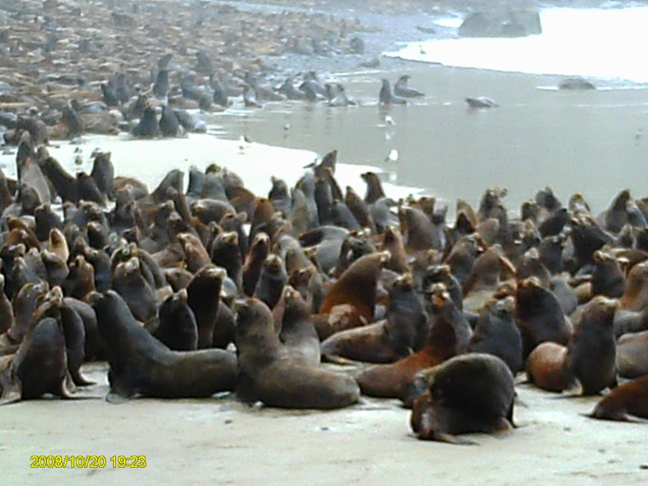 A ground-level view of the visiting population of sea lions in Fall of 2009