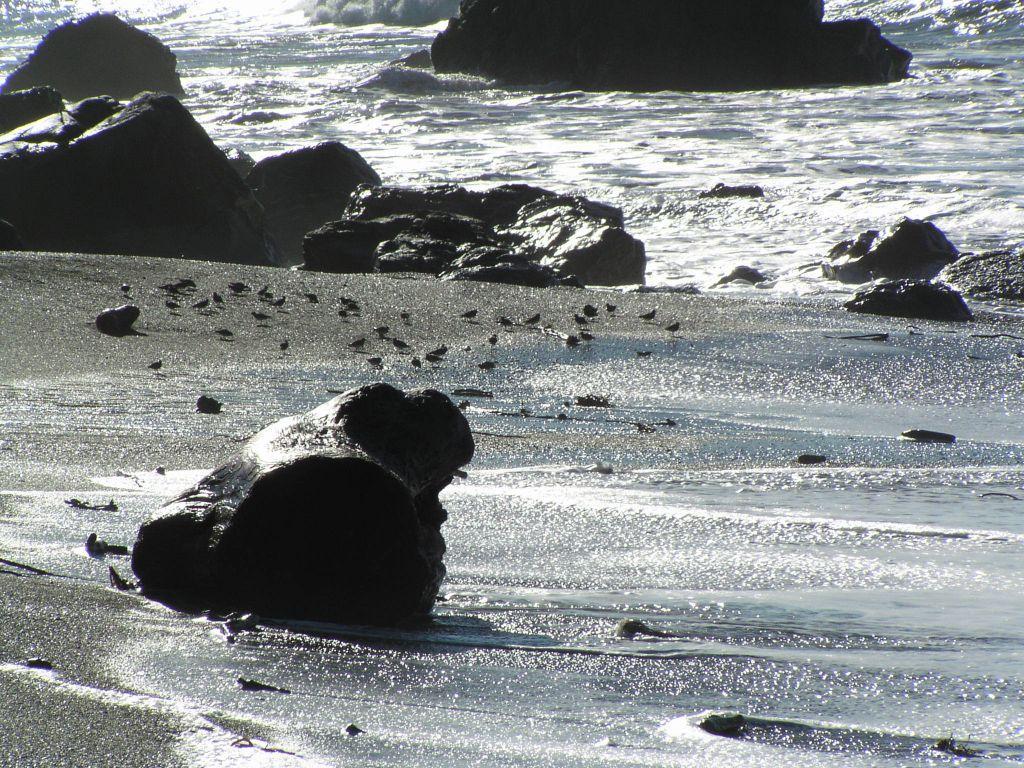 Turnstones on the sand mile 2