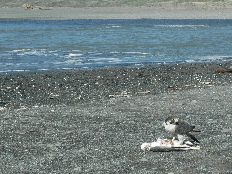 Peregrine had only just killed Herring when he'd arrived. Both adults were plucking the kill, then the male flew across the Pistol mouth, to watch from the driftwood, from afar. Ms. Peregrine (the larger of the two) stayed to clean her kill.