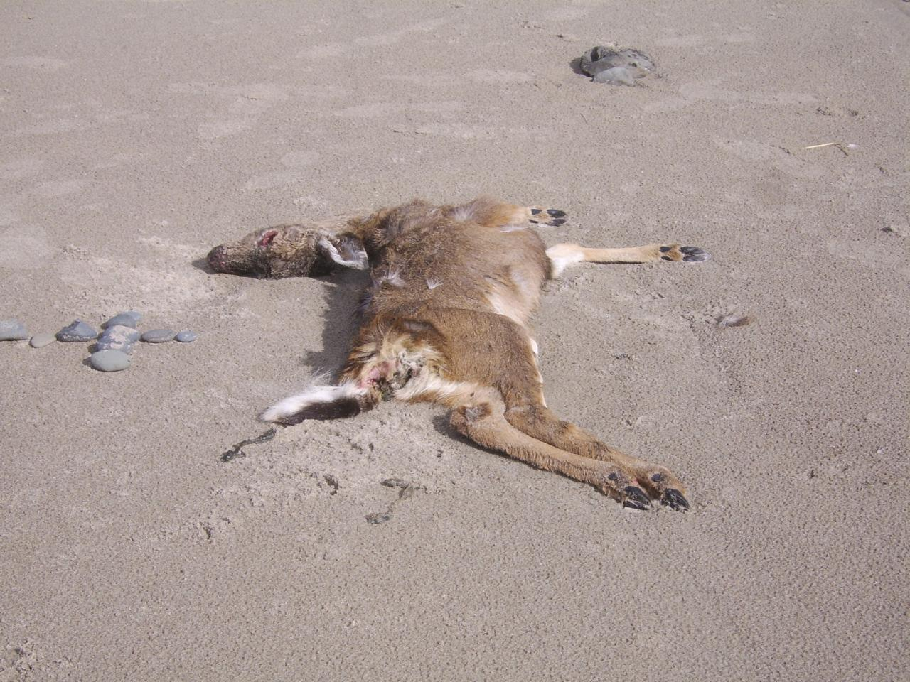 Deer on beach near cliff face just south of shark fin rocks, which is near stairs to beach from cliff approx where 26th st sw would intersect if it extended to beach