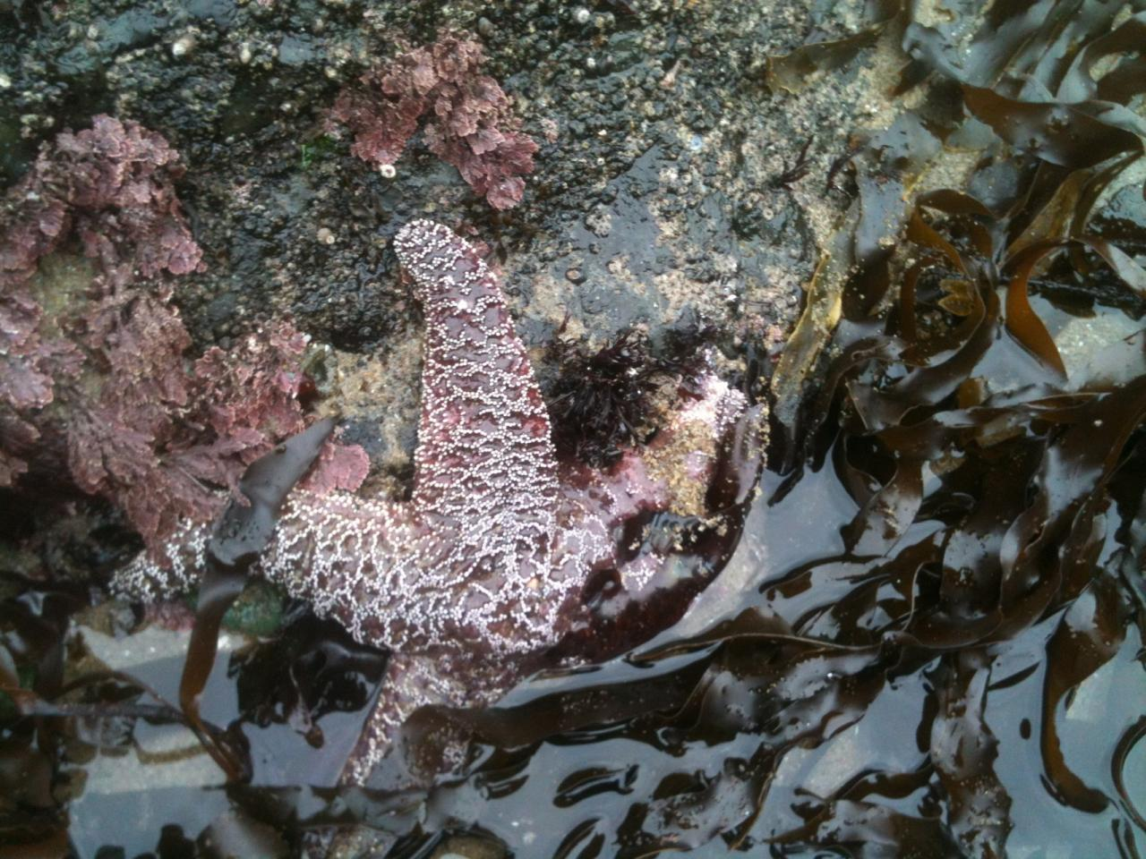 Ochre Star found at popular tidal pools with one leg apparently wasting.