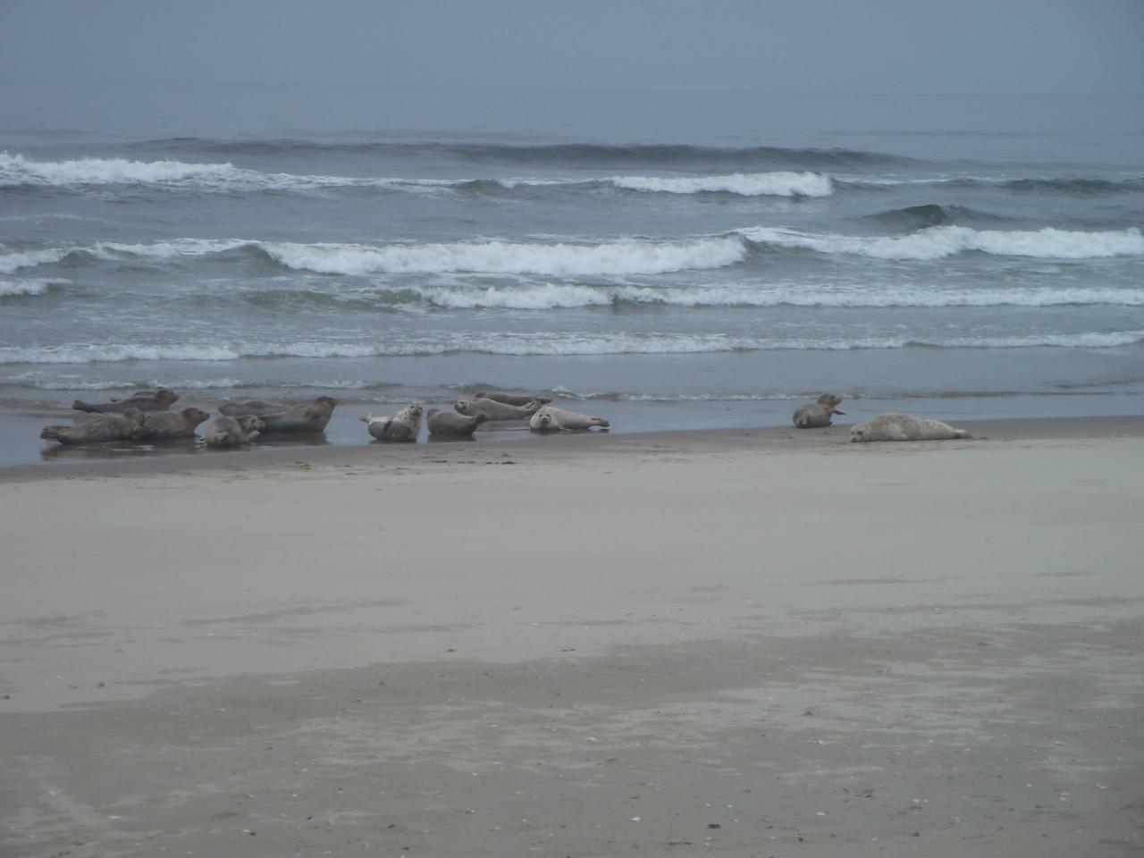 seals resting just south of the siltcoos river