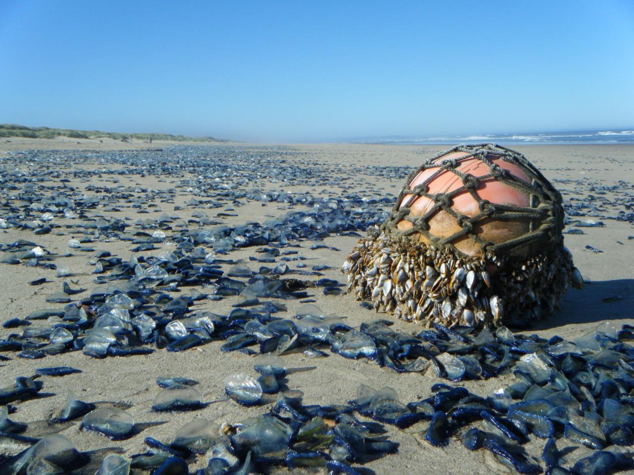 Mile 140 photo of float with gooseneck barnacles and large amounts of Velella jellyfish washed ashore.