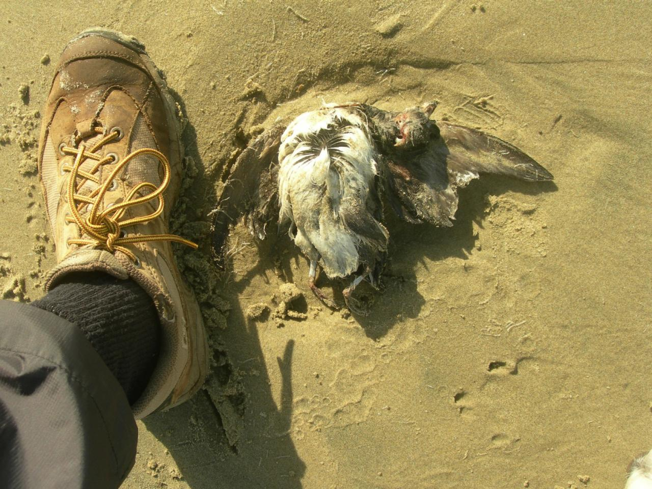 Bird seen dead on the beach. White on front, dark (but covered by sand) on back. Probably a small murre.