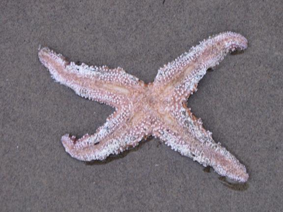 Dead starfish on sandy beach at low tide line, negative tide. Wasting disease?