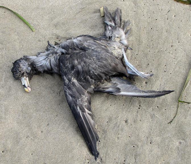 One of dozens of dead birds on the beach today.