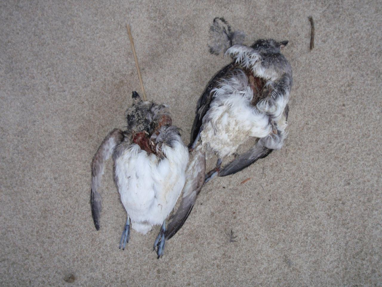 A couple examples of the Cassin's Auklet wreck.