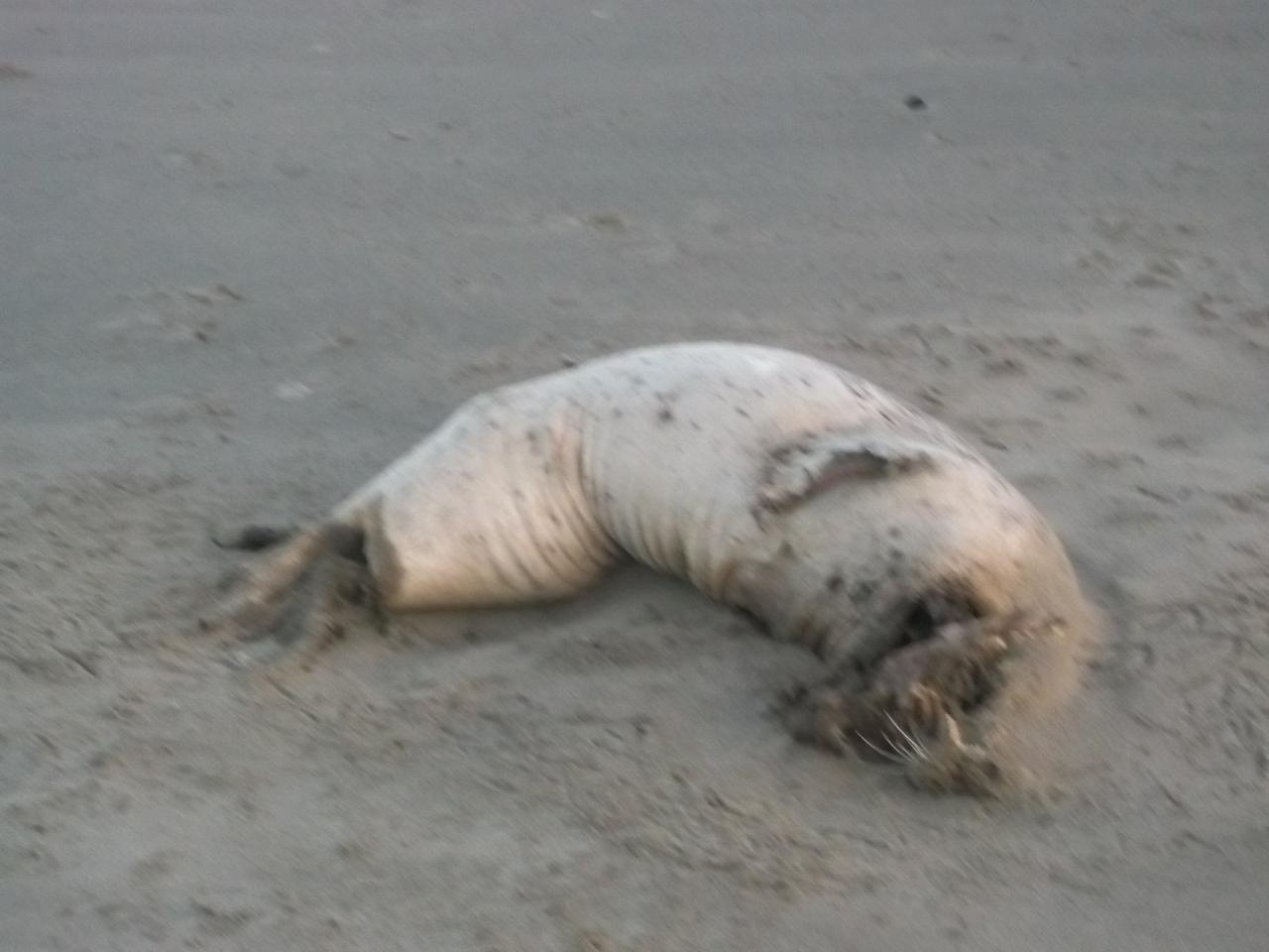 A dead harbor seal lays on the high-tide area at the northern edge of Mile 101 just below Coquille Point.
