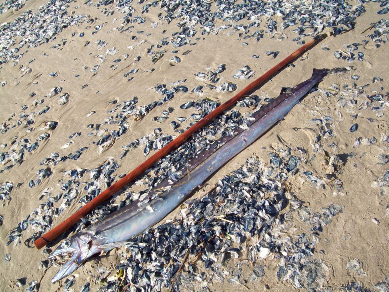 Lancetfish is about 4.5' long, shown here next to 5' walking stick.