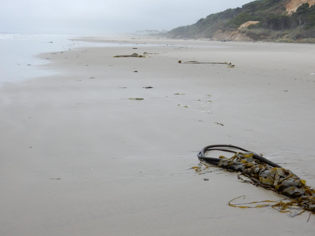 This much kelp hasn't been seen on previous visits. Winter die-offs?