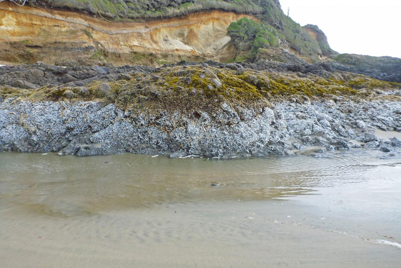 Falling sand levels expose a layer of dead acorn barnacles