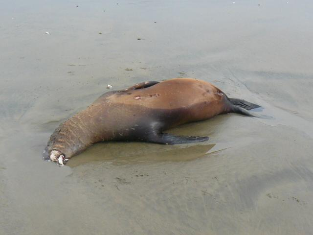 Dead seal observed on north end of Mile 204, possibly near the line between miles 204 and 205.
