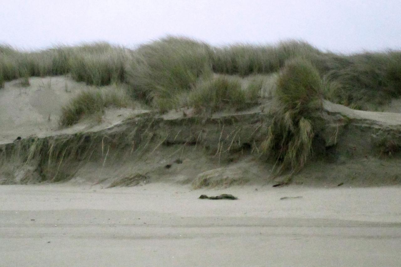 Broken dune face with grass roots showing