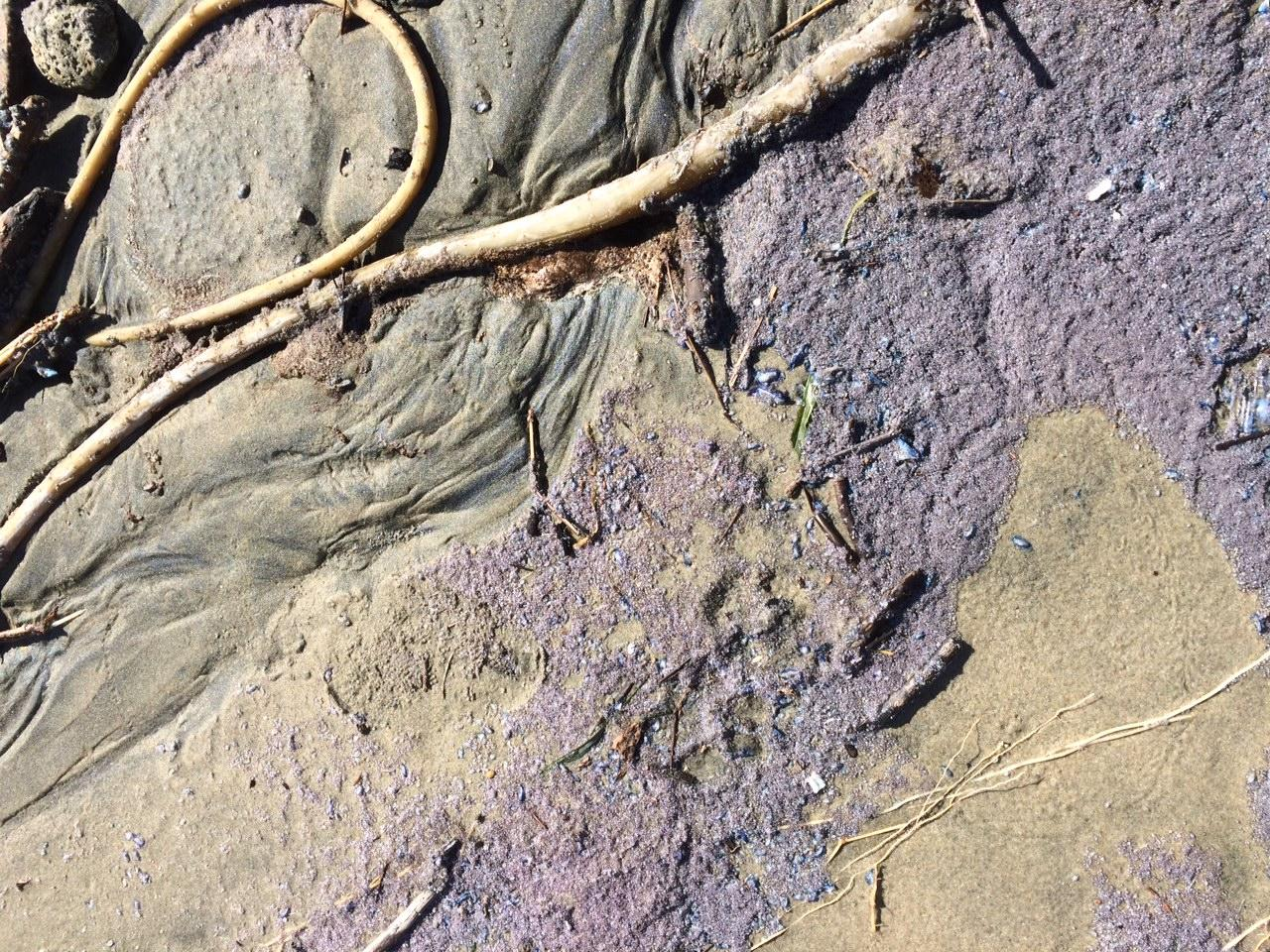 Purple mass high in wrack line at Driftwood State Park