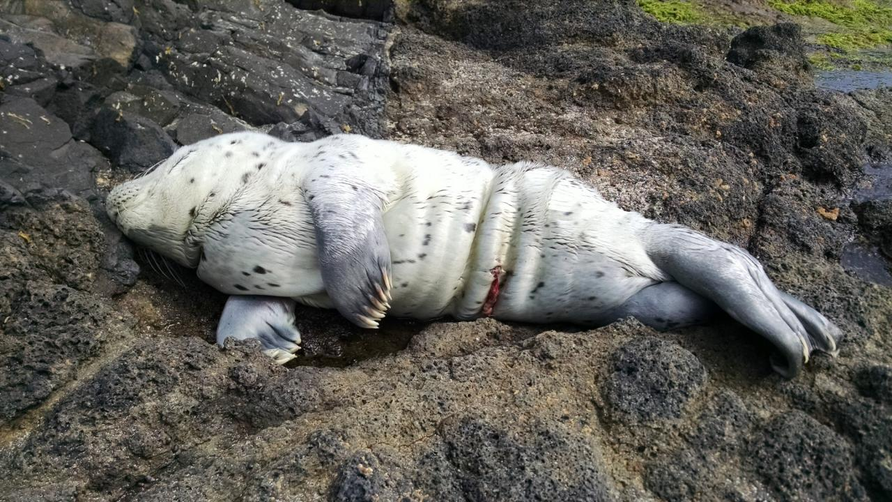 newborn harbor seal pup resting on the rocks at the end of Windy Way, Yachats.