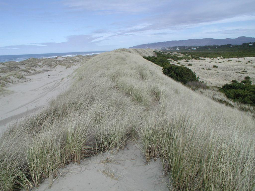 Beach grass-caused foredune at Heceta Beach, just north of the Siuslaw River North Jetty.  Hummocks to the left, deflation plain to the right.