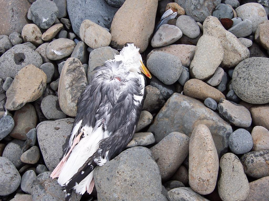 Western Gull dead on the beach