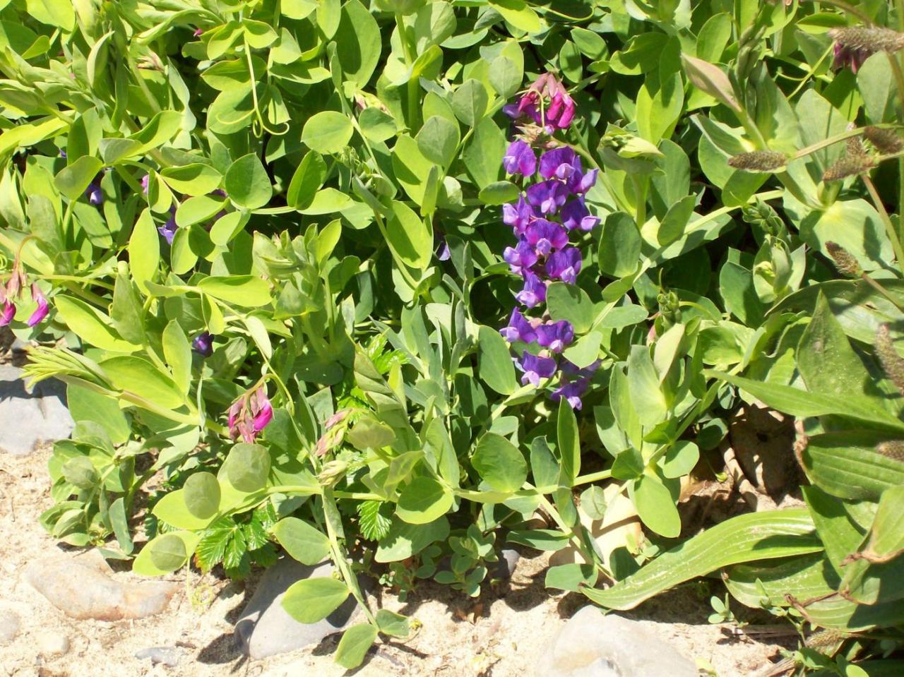 Beach pea in bloom