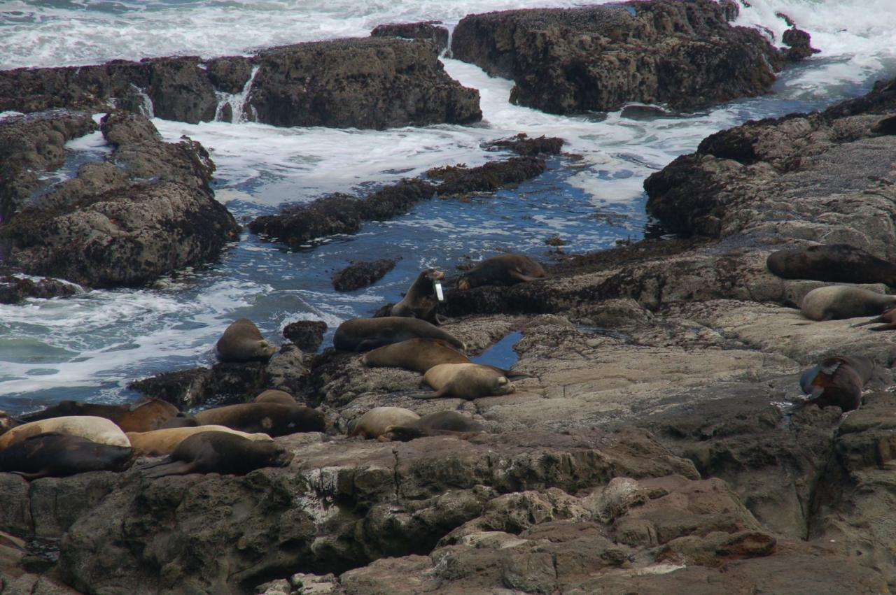 The sea lion was on the rocks at the southern headland of the Cape Arago north cove. We weren't sure what it had in its mouth, but after sending the picture to Diane and Dave Bilderback, found out it was a fishing lure.
