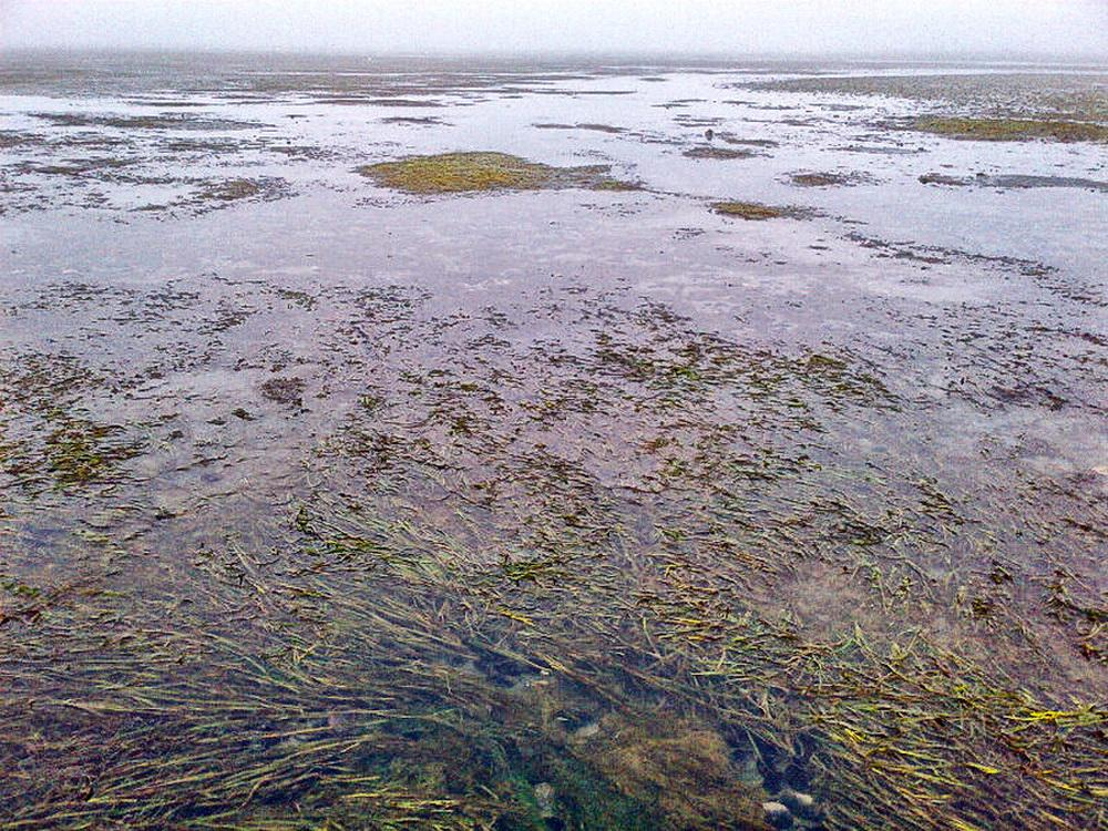 Eelgrass bed in Netarts Bay.\Photo by York Johnson.
