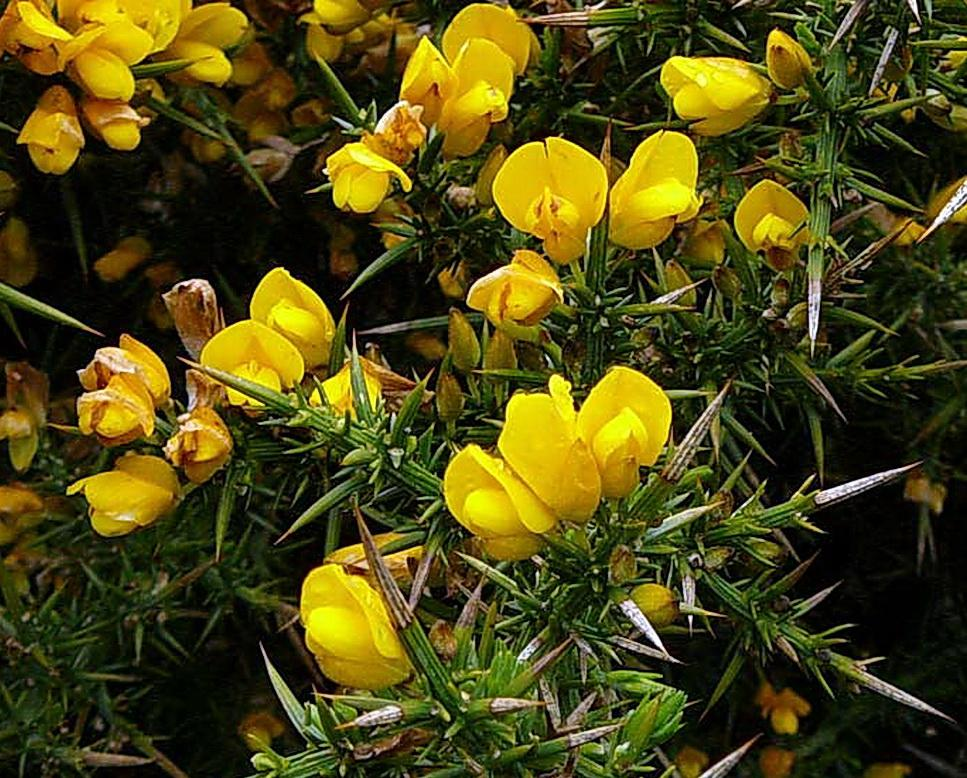Gorse, a major invasive species problem on the coast.\Photo by Lloyd Maxfield.