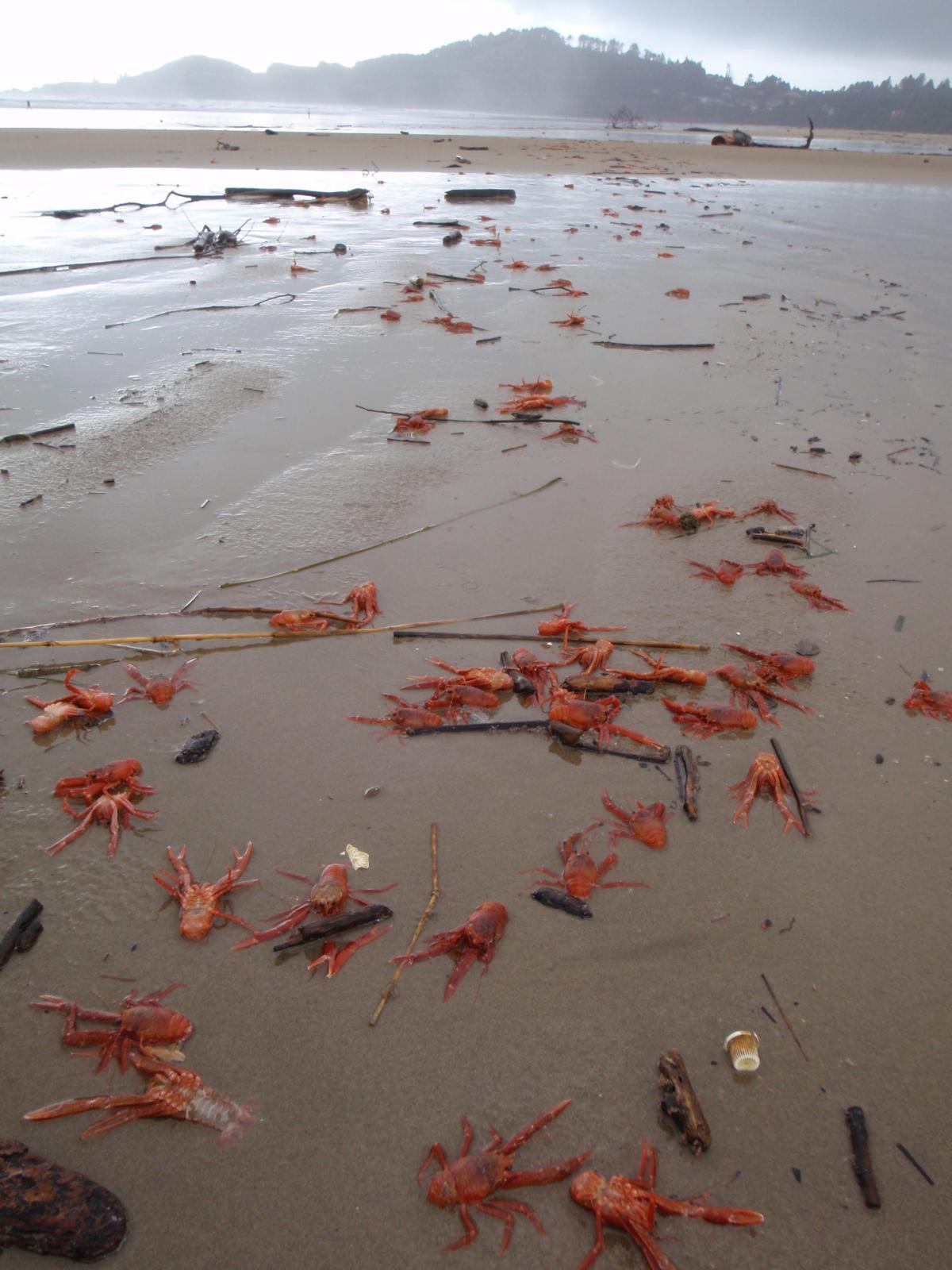Pelagic crabs-Pleuroncodes planipes