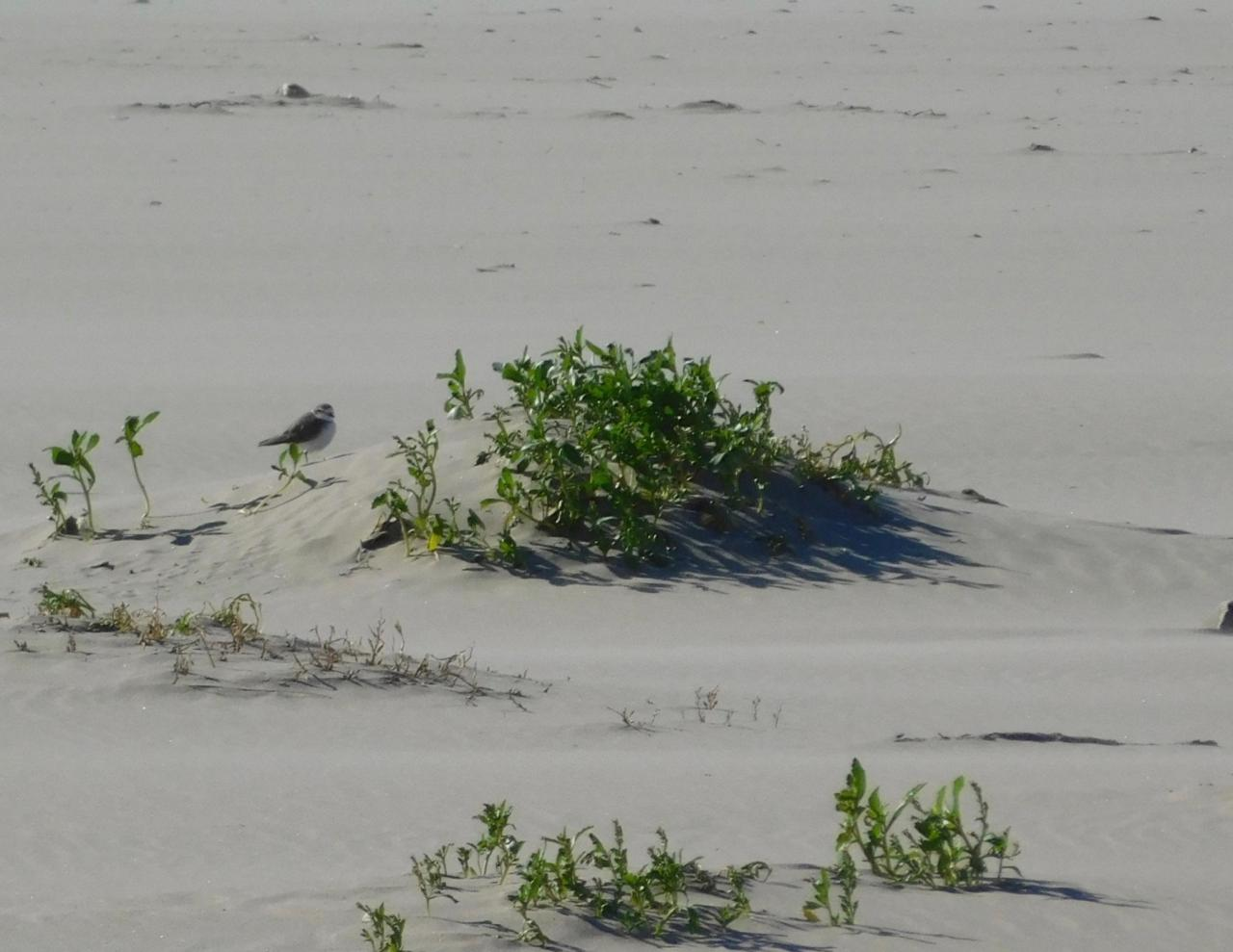 Western Snowy Plover sheltering from north wind