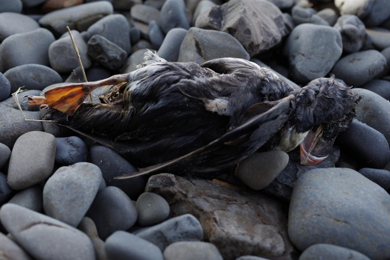 Dead Horned Puffin