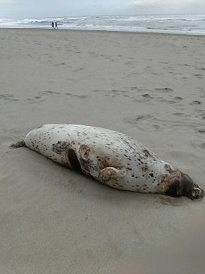 dead harbor seal